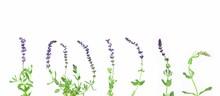Sage Flowers Set. Salvia Prate...