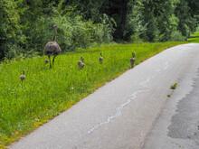 Nandu Walks Along A Road With...