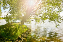 An Old Branchy Willow With A Powerful Trunk Hangs Over The Lake In The Sunlight. Summer Background.