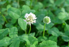 White Clover Meadow Flowering ...