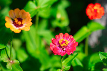 Zinia. Three Orange And Red Beautiful Flowers In The Garden On Green Background. Zinnia