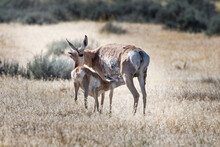 Pronghorn Fawn Nursing From It...
