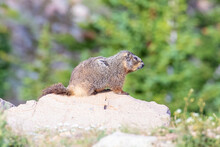 Marmot Sitting On Top Of A Boulder.