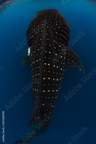 Fotografie, Tablou Whale shark swimming in the warm blue waters off of Cancun