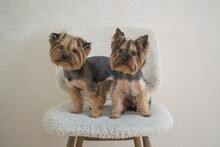 Two Yorkshire Terriers Sitting...
