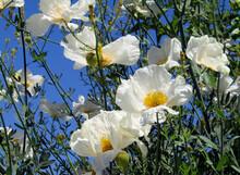 Matilija Poppies Against Blue Sky