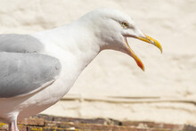 Portrait Of A Seagull Squawking