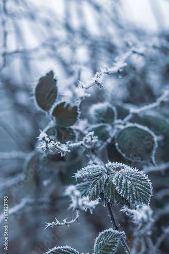 Fototapety, obrazy: frost on a leaf