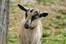 Portrait Of A Goat, Photo As A Background
