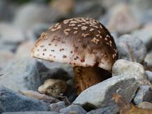 The Blusher Fungi (Amanita Aff...