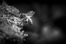 Black And White Of Honey Bee In Hydrangea