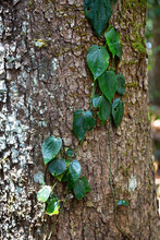 Vine Clinging To Forest Tree On Atherton Tablelands In Tropical North Queensland, Australia