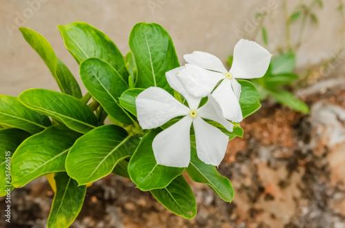 Fototapeta White Periwinkle Flowers
