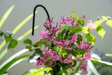 Violet Small Petals Bougainvillea Flower