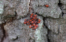 Red Bug Soldier Gathered On A Tree.
