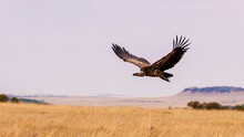 A Vulture In Flight.