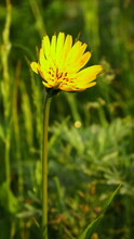 Yellow Salsify On A Background Of Blurred Grass