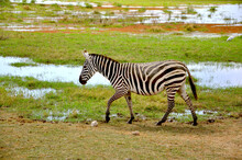 Lonely Zebra Walking On The Sw...