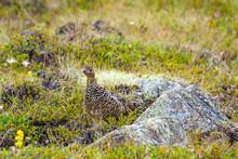 Female Rock Ptarmigan (Lagopus Muta) In Summer Plumage, In Tundra-like Vegetation In Iceland