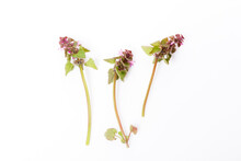 Lamium Purpureum,red Dead-nett...