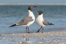 Laughing Gull Pair Courtship