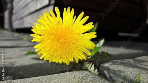 Fototapeta Beautiful yellow sow-thistle grows between pavement concrete bricks