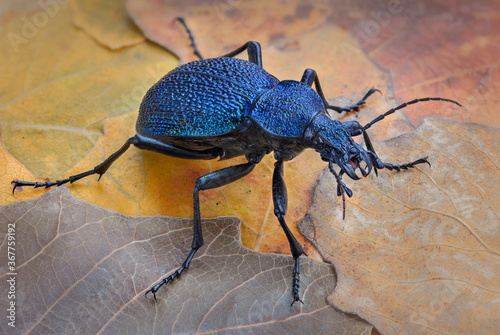 Foto Carabus scabrosus caucasicus, common name huge violet ground beetle, is a species of predatory beetle, feeding on terrestrial molluscs - mainly land snail