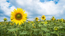 Common Sunflower Field With Ye...
