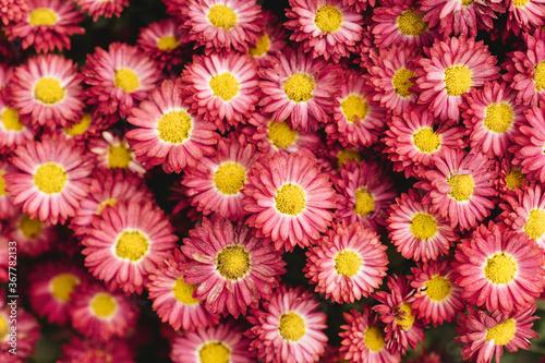 Fototapeta The autumn Flowers, chrysanthemum flowers wallpaper background. obraz