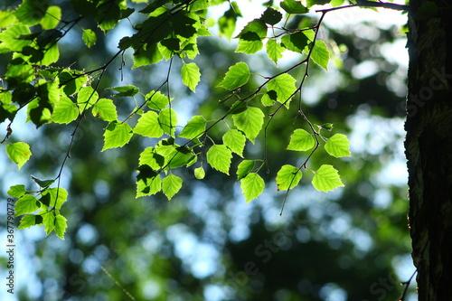 Gałązka brzozy z listkami rozświetlonymi słońcem - 367790779