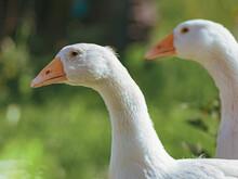 Close Up Of A Pekin Or White Pekin Ducks.