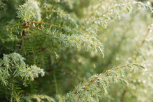 Juniper Twigs With Morning Dew...