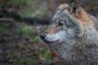 Wolf, nature reserve Bialowieza
