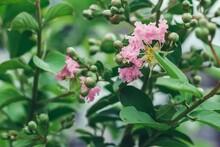 Closeup Of Pink Crape Myrtle F...