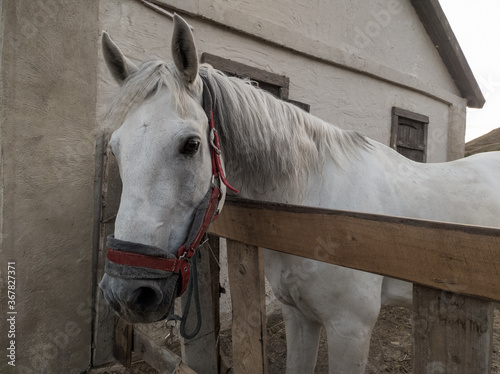 Fototapeta A beautiful white horse in a bridle, standing behind a fence, next to the house