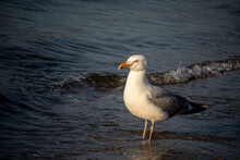 A Seagull Stands In The Water On A Sandy Beach In Goddard Memorial State Park, East Greenwich, Rhode Island