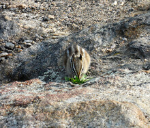 Chipmunk On Rock Eating Leaves