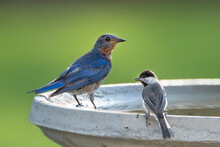 Eastern Bluebird And Carolina Chickadee Perched On Bird Bath In South Central Louisiana In Summertime