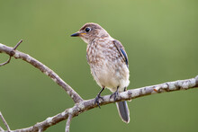 Juvenile Eastern Bluebird Perched On Bare Branch In Summer