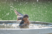 Eastern Bluebird Splashing In ...