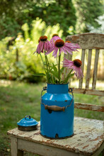 Fresh Echinacea Flowers In A Blue Vintage Can