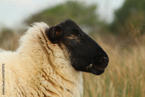 Photo Close up side profile of Suffolk breed ewe sheep on farmland in rural Ireland