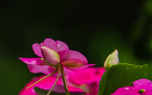 One Pink Impatien Bud Poking Out Above  Pink Blossoms And Green Leaves  Against A Black Background