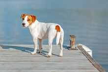 Jack Russell Terrier Stands By The Water