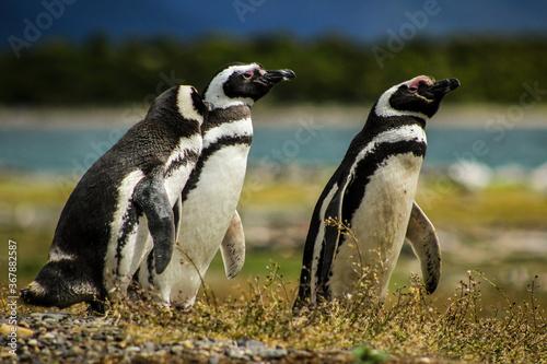 Vászonkép Penguin