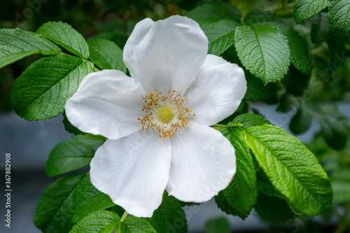 A large white wild rose flower with a pale yellow center Canvas-taulu