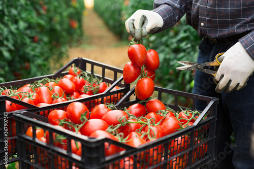 Fotografering Male farmer hands picking crop of red plum tomatoes in industrial glasshouse