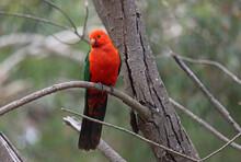 Australian King Parrot , Male ...