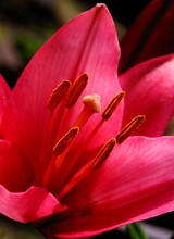 Pink Lily With Brown Pollen Close Up