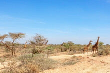 Flock Of Giraffes Among Shrubs And Trees